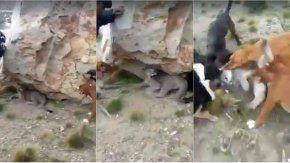 El brutal ataque de una jauría a un puma