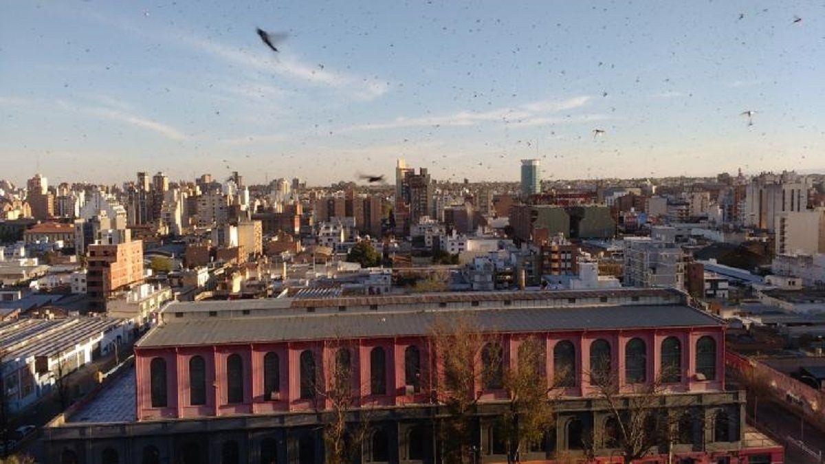 VIDEO: Una plaga de langostas gigantes invade a Córdoba
