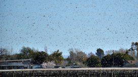 Una plaga de langostas gigantes invade a Córdoba
