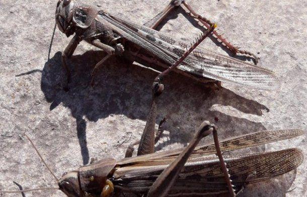 Los insectos tendrían 5 centímetros de largo y dos de ancho