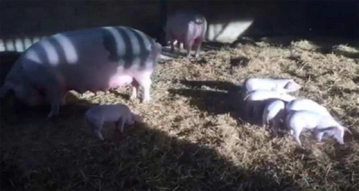 Salvaron a cerdos de un incendio pero se los comieron como salchichas