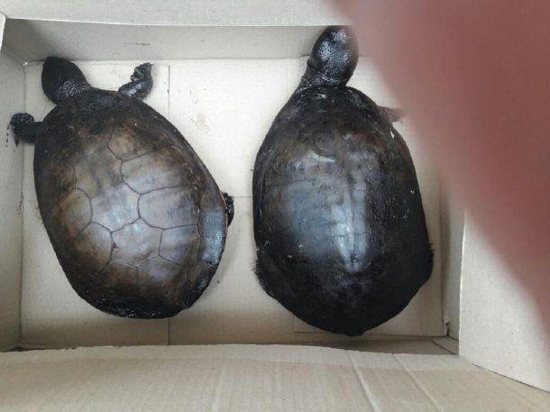 La mujer cargó las tortugas en su auto<br>