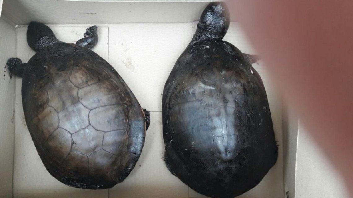 La mujer cargó las tortugas en su auto