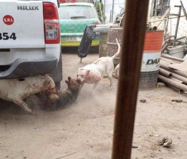 <p>Hace que sus dogos maten perros callejeros -  Crédito: Facebook Carlos Gómez</p>