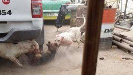 Hace que sus dogos maten perros callejeros - Crédito: Facebook Carlos Gómez