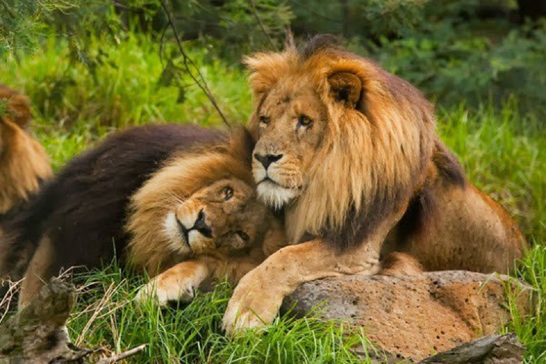 ¿Existe la homosexualidad en el reino animal? Mirá estos leones