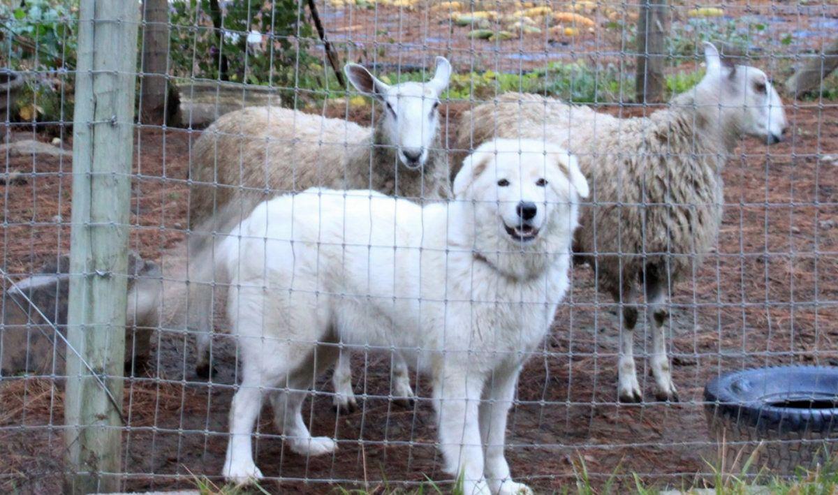 Los dueños de los perros argumentaron que son para cuidar el ganado ovino