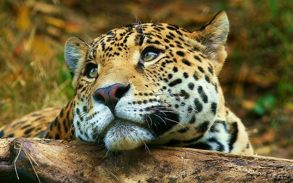 El yaguareté está en peligro de extinción