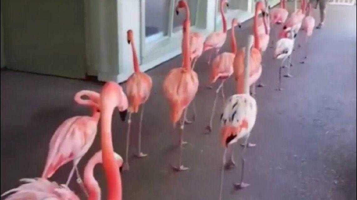 Así fueron trasladados los flamencos por el huracán Irma