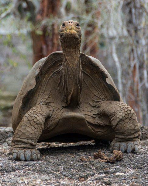 Recuperan una especie de tortuga gigante extinta hace 150 años en Galápagos<br>