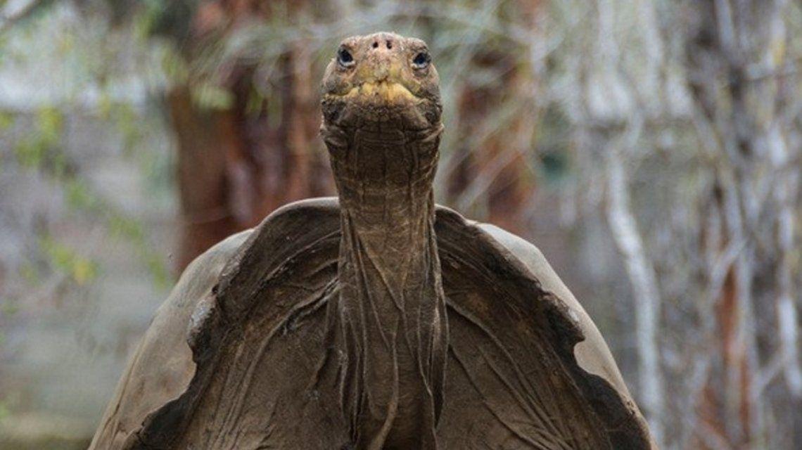 Recuperan una especie de tortuga gigante extinta hace 150 años en Galápagos