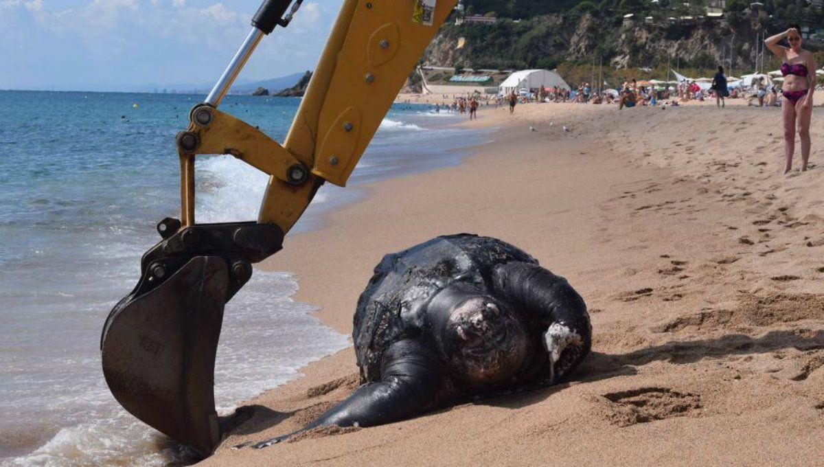 La enorme tortuga laúd apareció muerta en una playa catalana