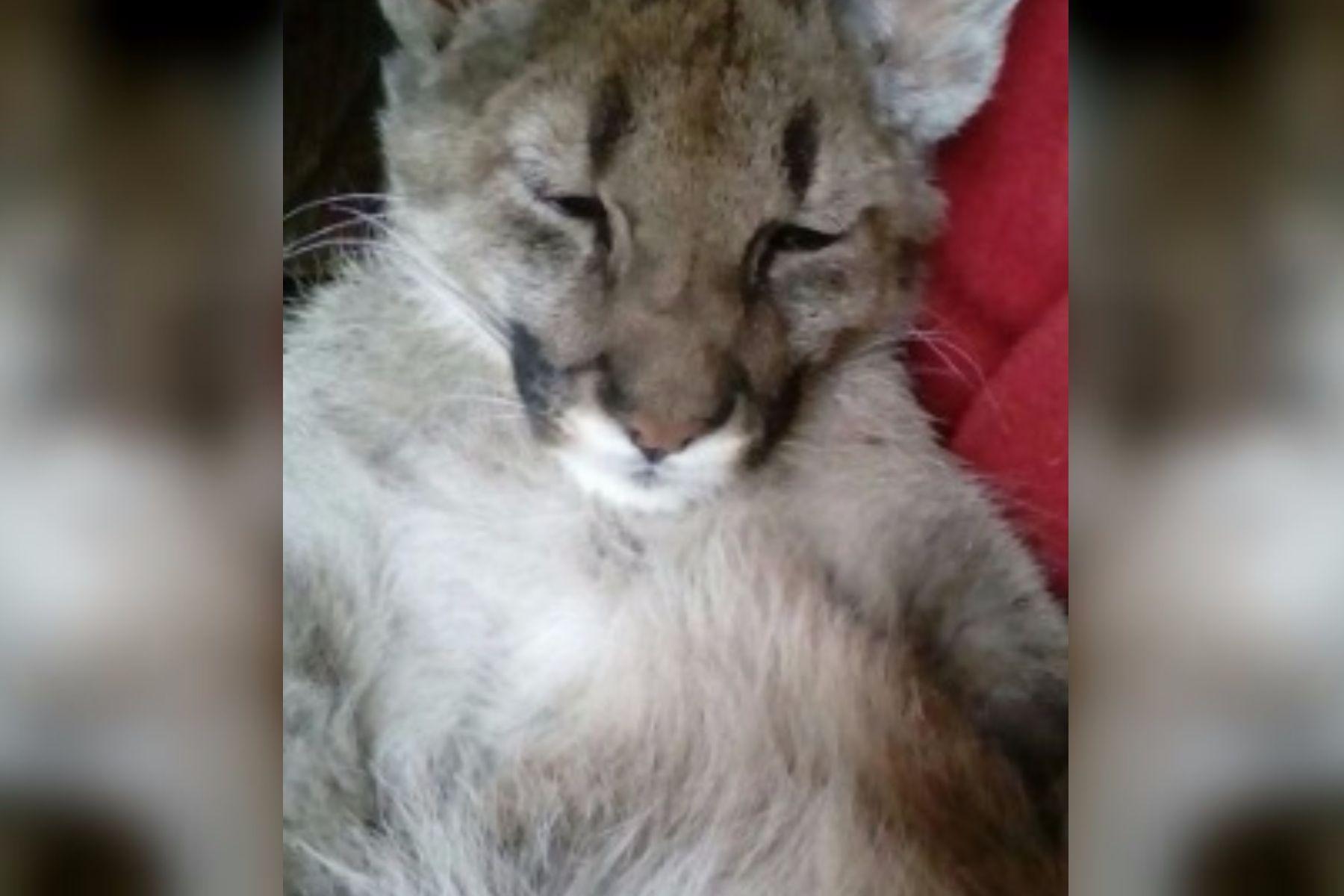 La conmovedora historia de Estanislao, el puma que sufre de ceguera y lucha por sobrevivir