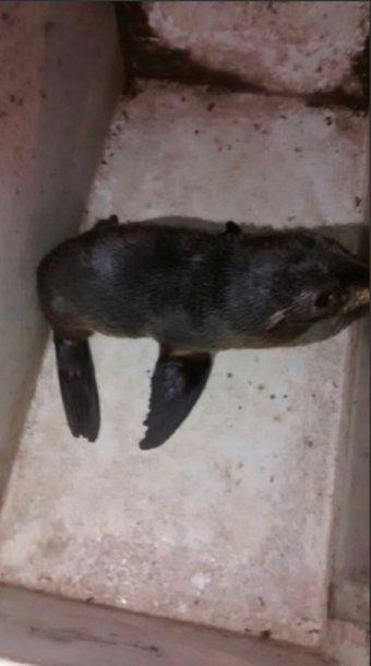 Encontraron un lobo marino, se lo quedaron como mascota y hasta pidieron plata para soltarlo