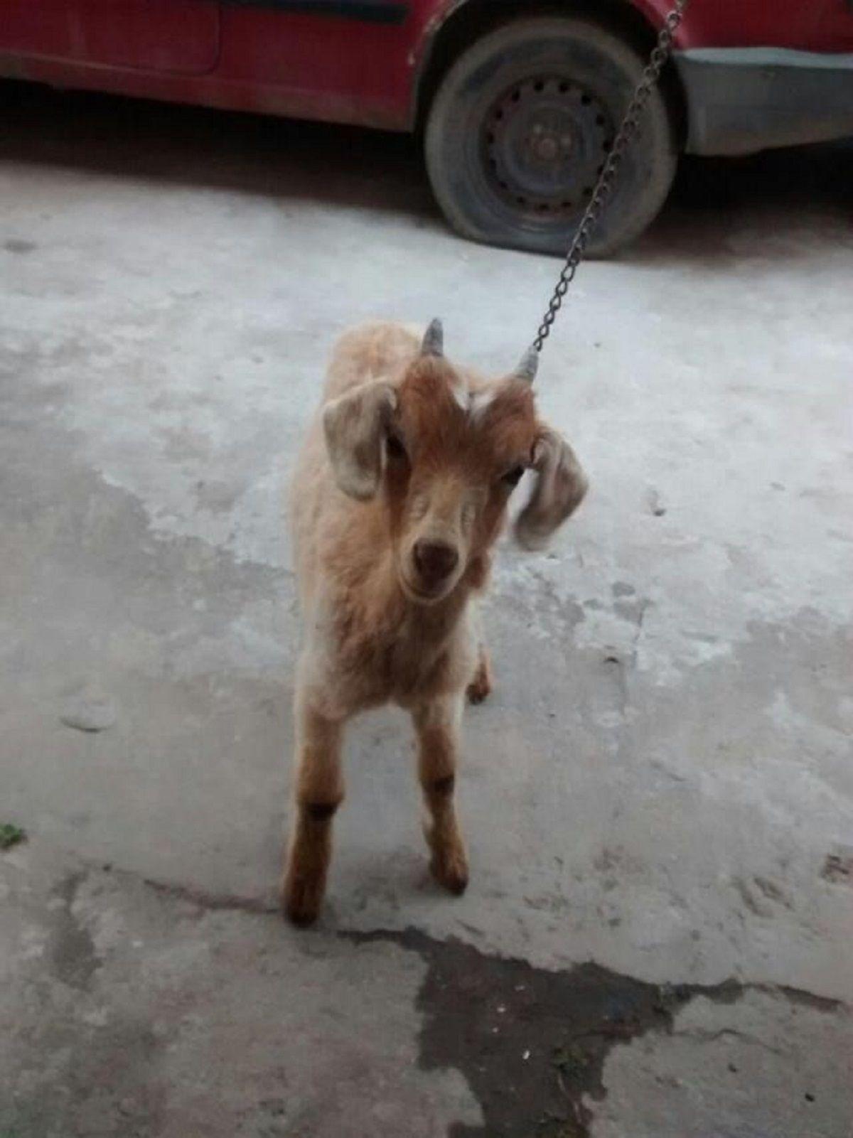 Intentaron robar, se escaparon y los delató su mascota: un cabrito