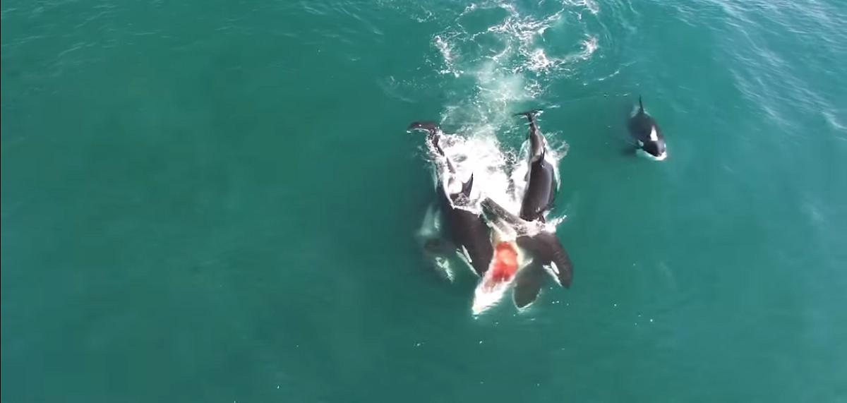 El inusual ataque de orcas que devoraron a una ballena