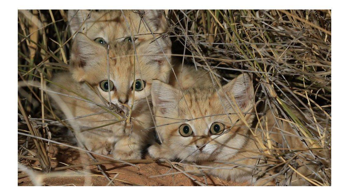 Es el primer encuentro con gatos de arena en libertad