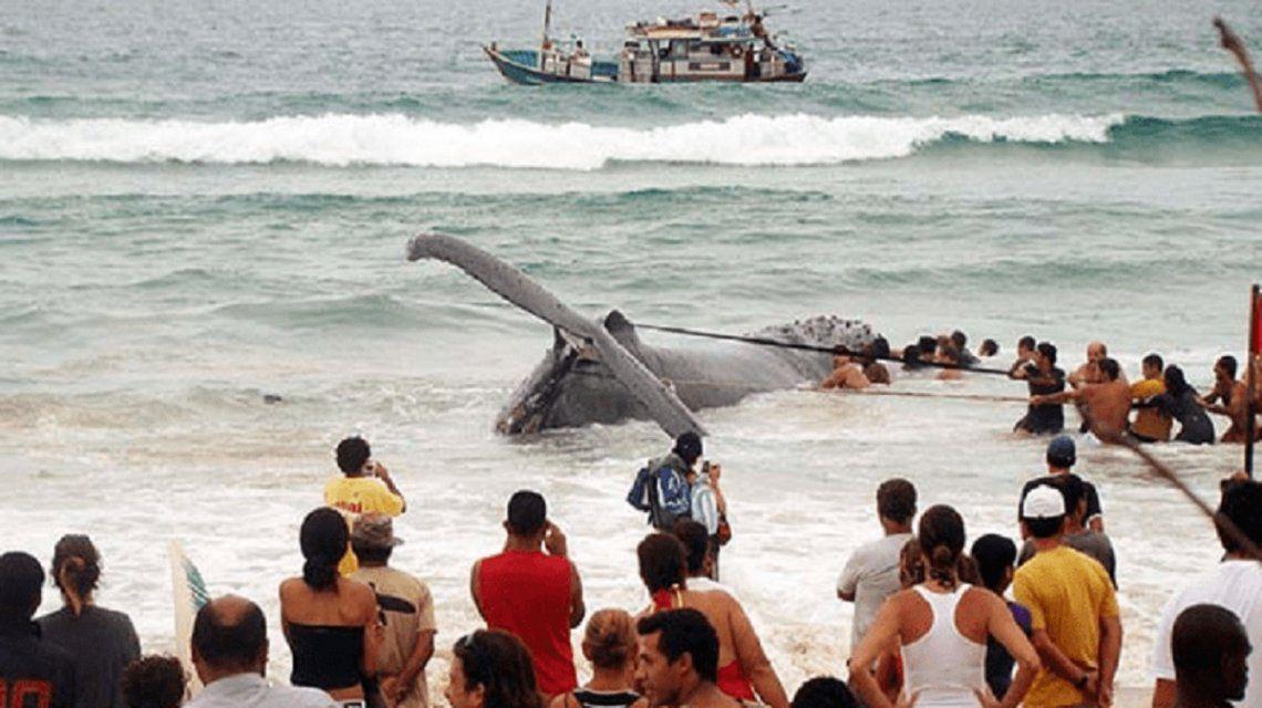 Con cerca de 7 metros de extensión había atrapado en la arena de la Praia Grande