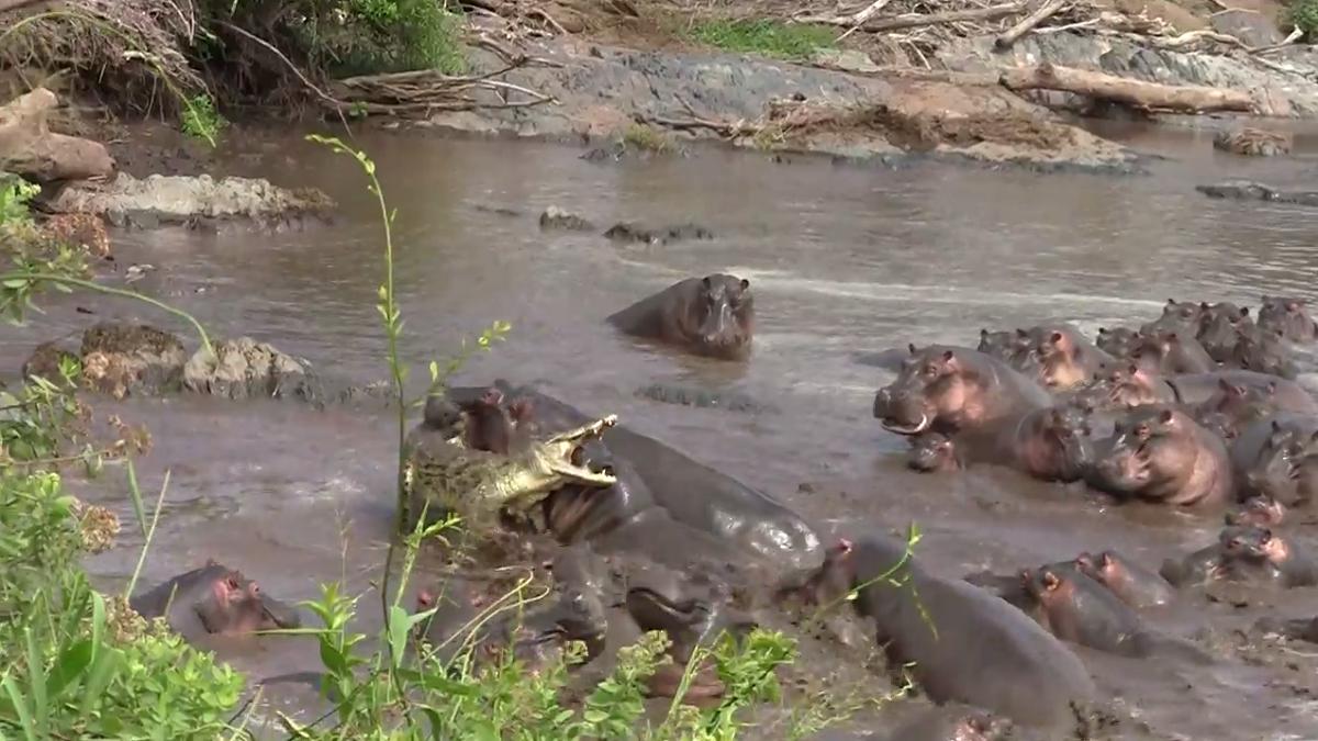 VIDEO: Un cocodrilo se enfrenta a 30 hipopótamos enojados