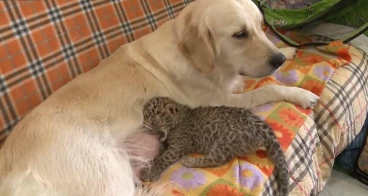 La mamá adoptiva del cachorro de leopardo es una golden