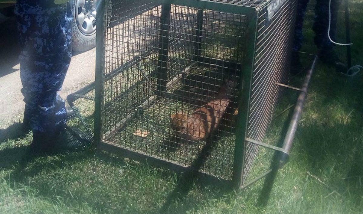 La patrulla ambiental rescató al puma de la casa de un hombre