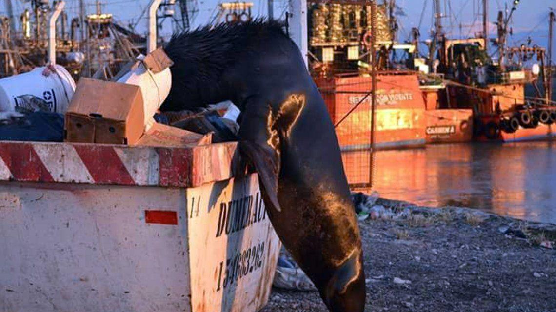 El truco de un lobo marino al ser descubierto comiendo camarones