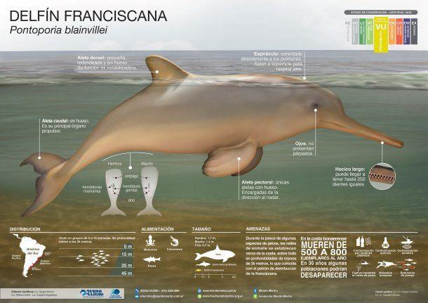 Delfín franciscana o Pontoporia blainvillei