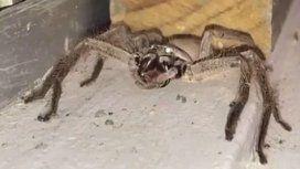 Captan a una araña del tamaño de un perro en la puerta de una casa