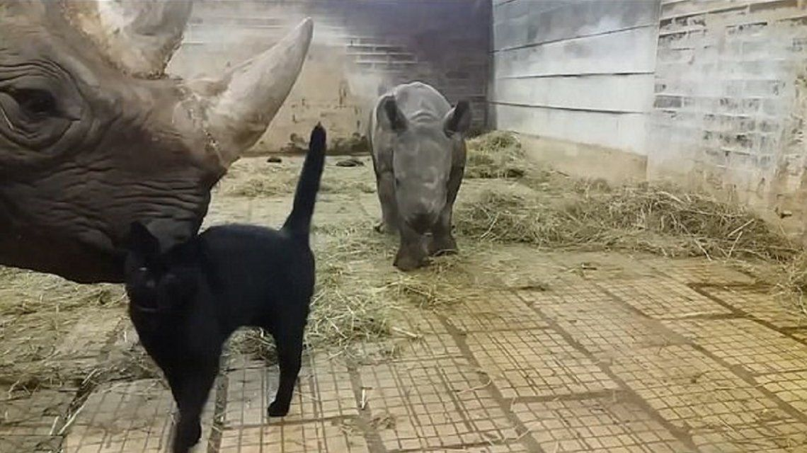 VIDEO: La inusual amistad entre un gato y dos rinocerontes
