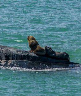 El ARA San Juan en Mar del Plata con unos lobos marinos