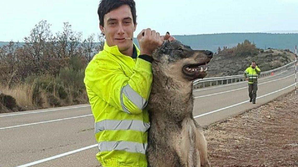 España: atropelló a un lobo y posó con el cuerpo muerto como un trofeo