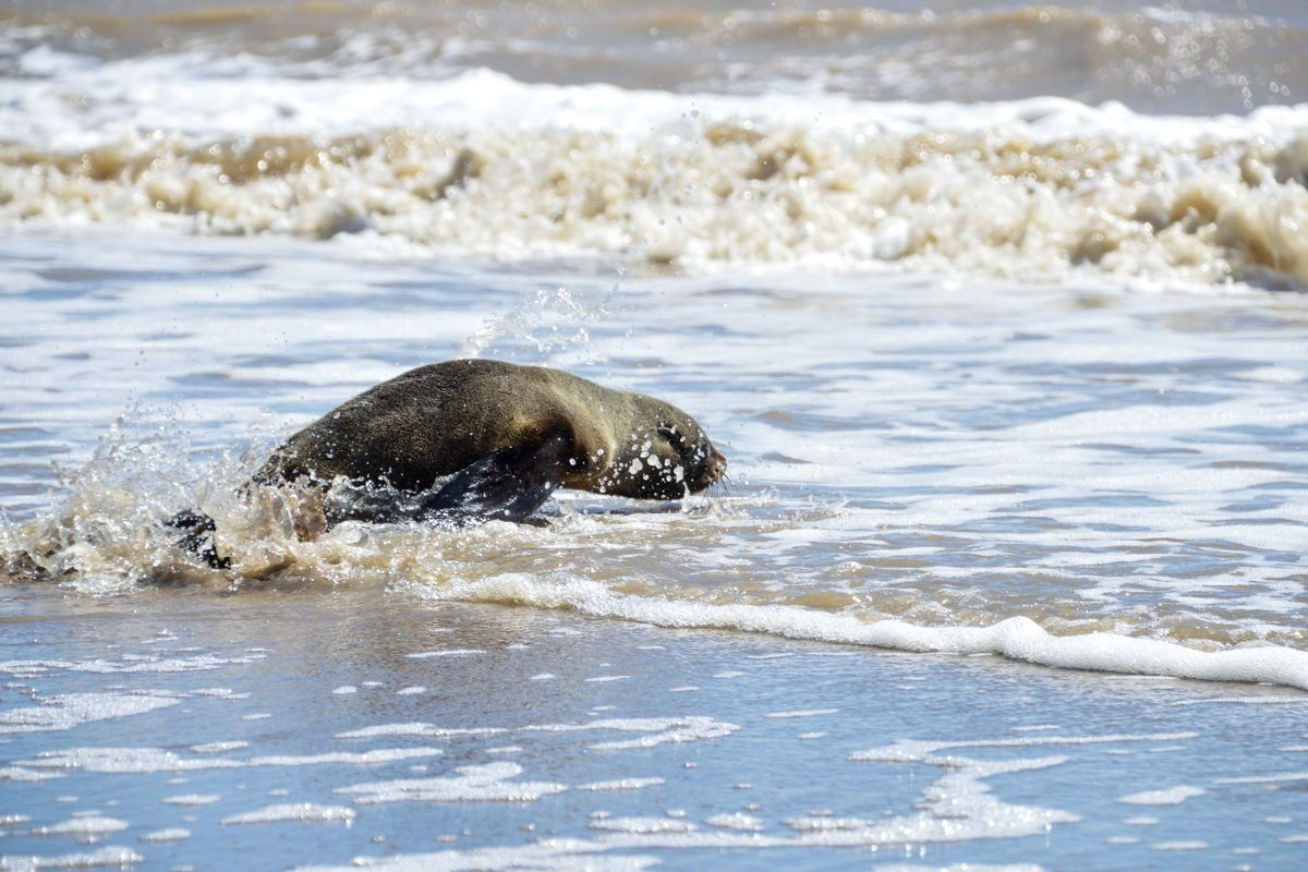 Del Riachuelo al mar: la vuelta a casa de un lobo marino