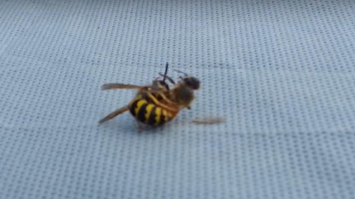 Una avispa partió en dos a una abeja