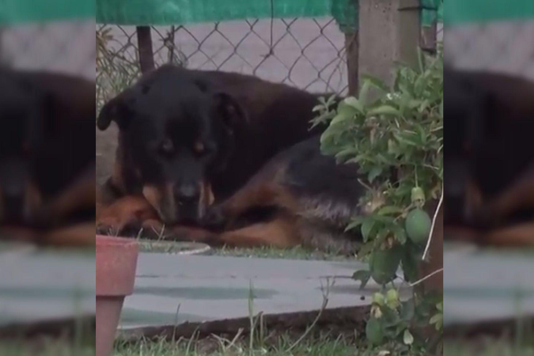 ¡Toda una heroína! Una perra salvó a su familia de una entradera en La Plata
