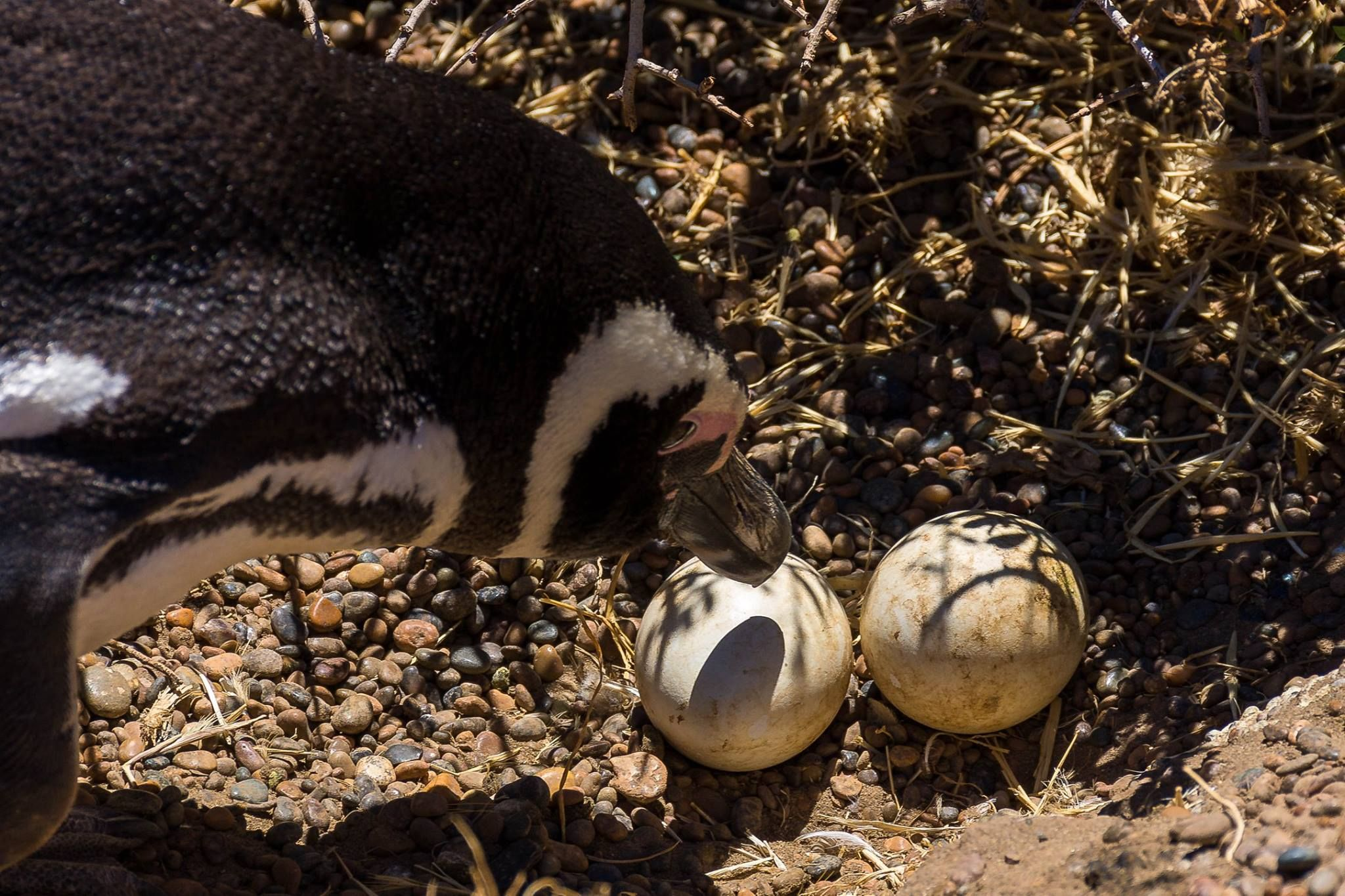 Los pingüinos son la mayor atracción de la estancia San Lorenzo