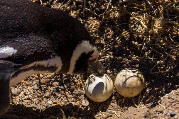 Los pingüinos son la mayor atracción de la estancia San Lorenzo<br>