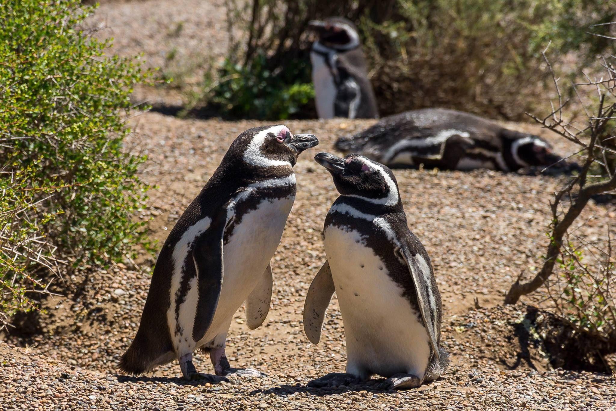 Pareja de pingüinos en la estancia San Lorenzo