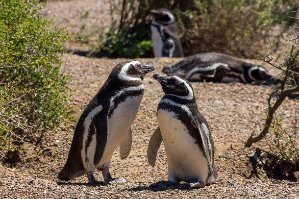 Pareja de pingüinos en la estancia San Lorenzo<br>