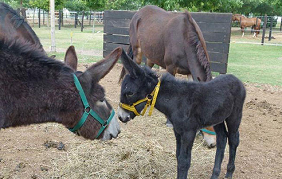 Córdoba: una mula dio a luz a un burro
