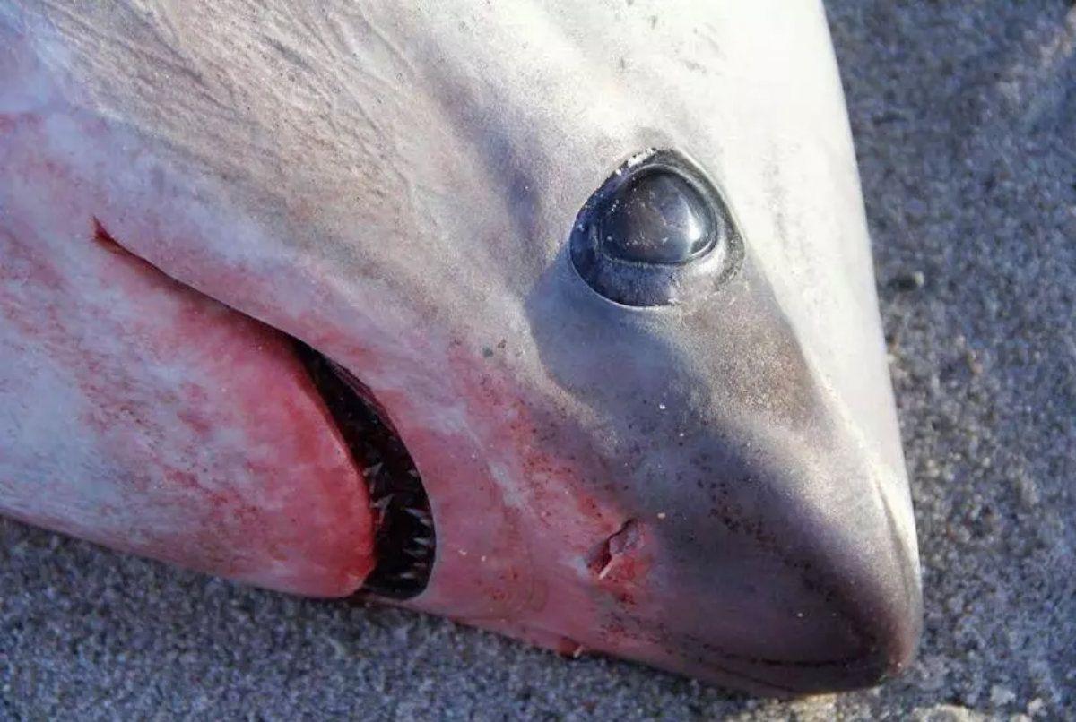 Los dos machos eran tiburones azotadores