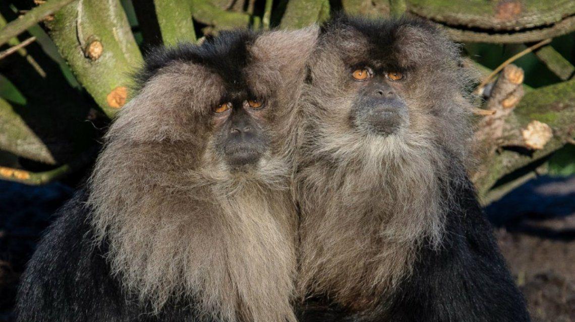 Imagen ilustrativa de los macacos cola de león