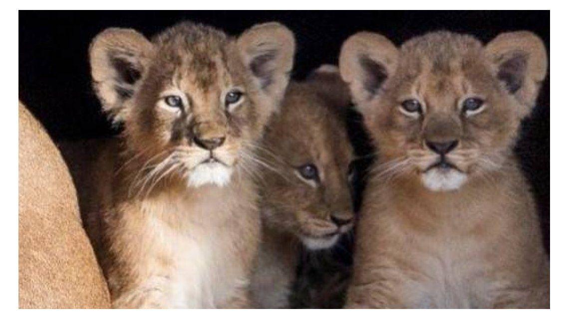 Crueles: un zoológico sacrificó nueve cachorros de león por falta de espacio