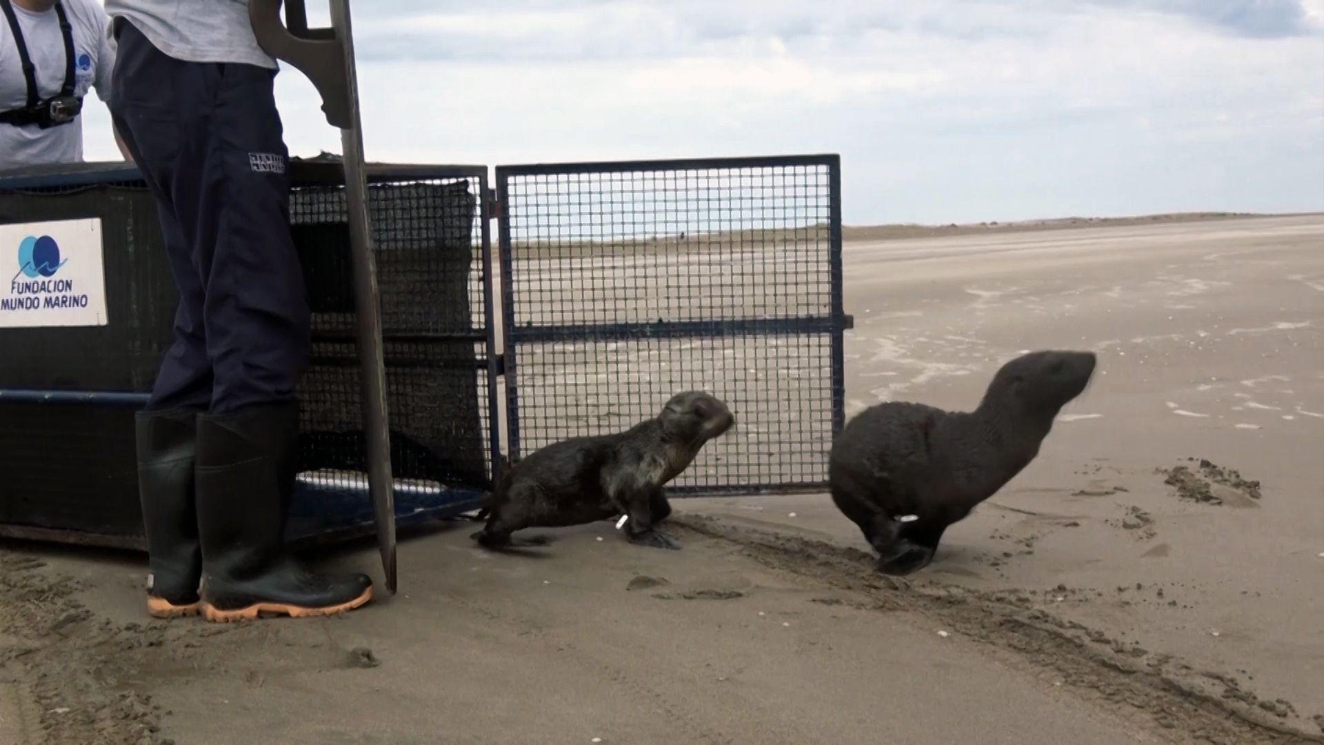 ¡Un alegrón! Regresaron a sus hogares tres lobos marinos, tres tortugas y dos comadrejas