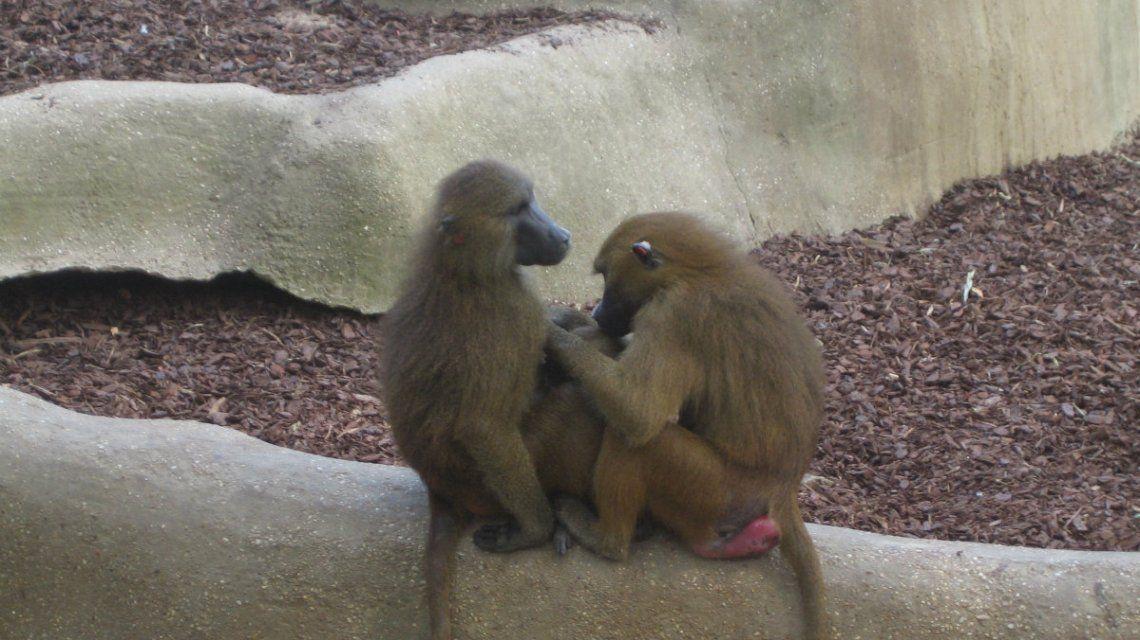 Los monos se escaparon y aterrorizaron al público