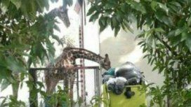 Triste: las jirafas del Ecoparque se alimentan de la basura