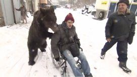 Rusia: un oso ayuda a su entrenador que está en silla de ruedas