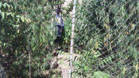 Mamá mono tenía 200 plantas de marihuana de más de 2 metros cada una