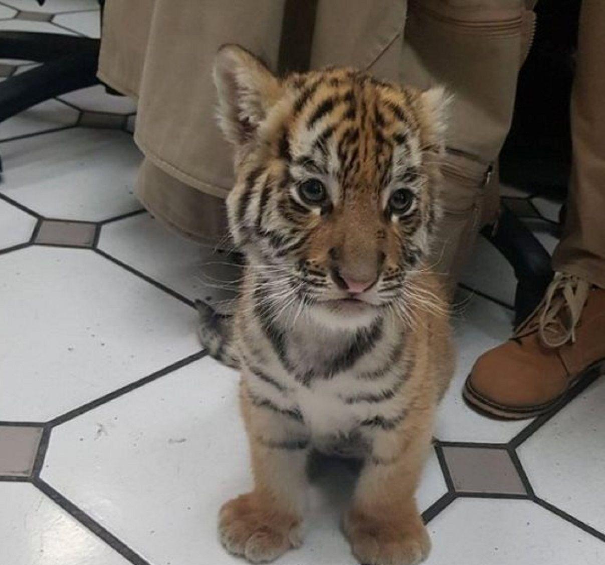 Encuentran un pequeño tigre dentro de un paquete de correo en México