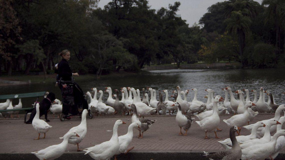 Los gansos serán desalojados de los Lagos de Palermo
