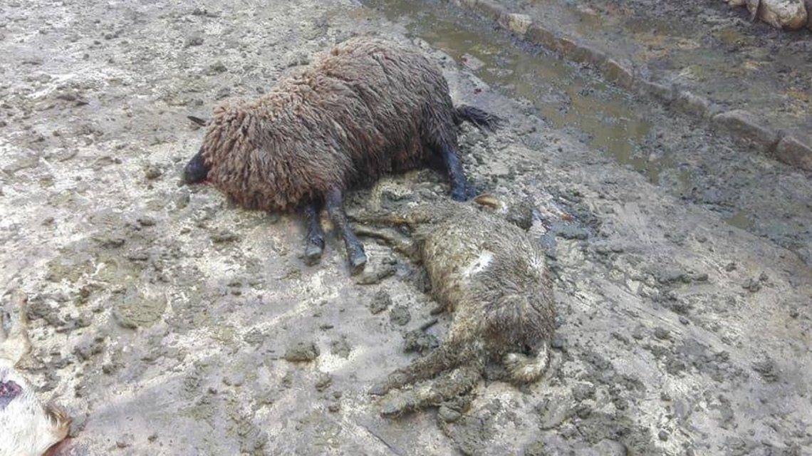 Salvaje matanza de animales: una jauría descuartizó dos rebaños de ovejas y cabras